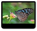 大自然的舞姬-蝴蝶仙子