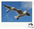 自由飛翔美麗一瞬間-紐西蘭紅嘴鷗Red-billed Gull